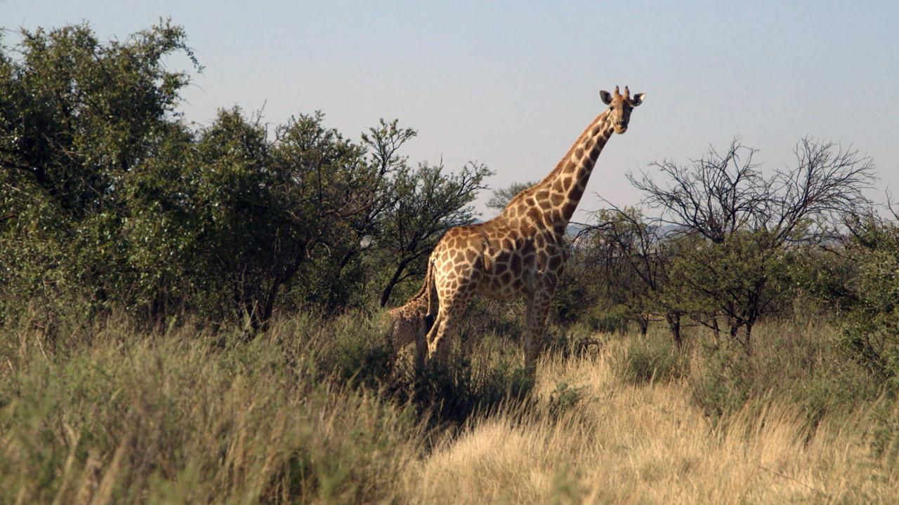 ako veľký je žirafy penis