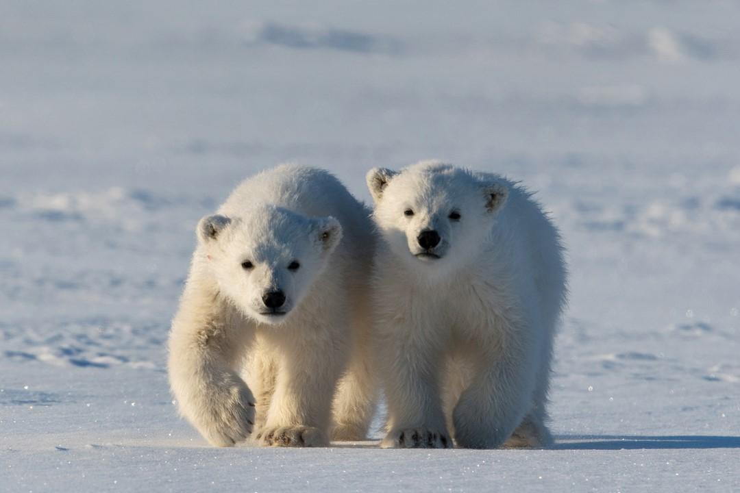 Medvíďata na sněhu — Česká televize 09014166ca